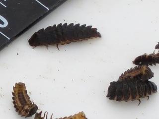 ヒメボ幼虫.JPG