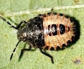 ブチヒゲカメムシ幼虫.jpg